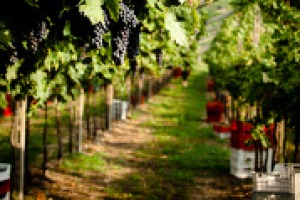 """La sostenibilità del processo produttivo del vino certificata, per la prima volta in Italia, da un Consorzio di tutela: ecco il marchio """"Riduci Risparmia Rispetta"""" del Consorzio Tutela Vini Valpolicella, nelle parole dell'agronomo Renzo Caobelli"""