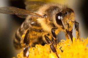 """Produzione di miele in crisi in Italia, con tagli anche dell'80%, e il segnale di una catastrofe imminente: parla Francesco Panella, portavoce Unaapi. """"Quello che le api ci """"ronzano"""" è che se non cogliamo certi messaggi sarà un disastro per tutti"""""""