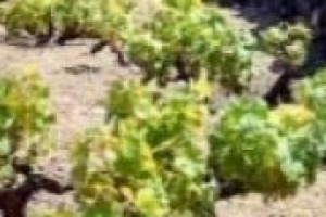 La vite ad alberello di Pantelleria candidata a patrimonio Unesco. Dario Cartabellotta, direttore dell'Istituto Vite Vino della Regione Siciliana: ''un percorso che testimonia come il vino sia davvero un prodotto culturale''