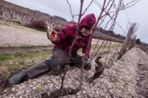 """I preparatori d'Uva Marco Simonit e Pierpaolo Sirch sono i primi """"non francesi"""" alla corte di Chateau D'Yquem, uno dei vini mito nel mondo. In cosa consiste esattamente la consulenza fatta in Francia, lo spiega a Winenews Marco Simonit"""