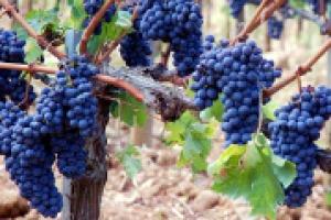 Sagrantino, il segreto è nel tannino, che per tipologia e concentrazione, rende unico al mondo il vitigno e ed il vino principe di Montefalco. A WineNews lo spiega Fulvio Mattivi, della Fondazione Edmund Mach di San Michele all'Adige