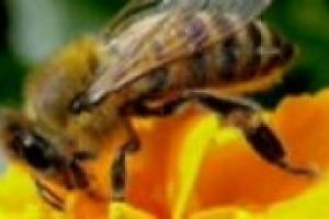 ''Senza api non c'è futuro'': è il messaggio, allarmante, che arriva dal presidente degli apicoltori italiani, Francesco Panella, che a WineNews racconta come nel corso del XXI secolo siano a rischio il 25% degli insetti del pianeta
