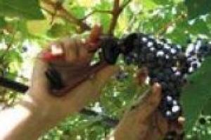 """Nonostante la crisi, tra i filari, 1 lavoratore su 4 è straniero, ma la situazione cambia quando guardiamo alle tante professionalità """"enoiche"""". A descrivere la situazione dei lavori legati al vino in Italia il direttore di WineJob, Andrea Pecchioni"""
