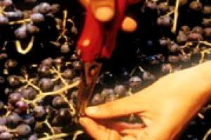 Voci dalle vigne: meno preoccupazione del previsto sul fronte della qualità per la vendemmia 2014. Lo spiegano Antonio Rallo (Donnafugata), Ernesto Abbona (Marchesi di Barolo), Michele Bernetti (Umani Ronchi) ed Enrico Viglierchio (Castello Banfi)