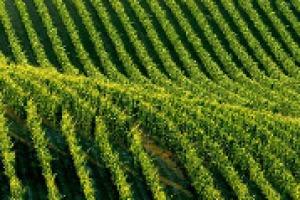 Dai diritti di impianto alle autorizzazioni nel 2016: come si muovono Francia e Spagna nelle parole di Ignacio Sanchez Recarte, segretario Comité Europeén des Entreprises vin, che analizza anche le criticità evidenti del nuovo regime sui vigneti Ue