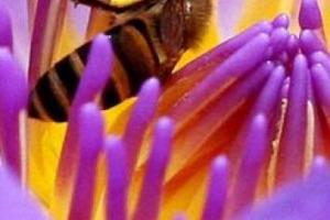 """""""In Italia si rischia il disastro ambientale: le api, impazzite per il clima, non solo non producono miele (-80% produzione 2017), ma non riescono più a fornire il servizio di impollinazione all'agricoltura"""": allarme degli apicoltori italiani (Unaapi)"""