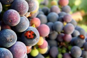 Green, premium e sparkling: il futuro del vino passa da queste tendenze, come confermano i 12 big (oltre 2 miliardi di fatturato) sondati da Vinitaly e Wine Monitor. Prosecco top, come Pinot Grigio in Usa, Primitivo in Germania e Amarone in Cina