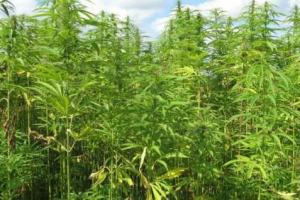 Via libera della Camera alla proposta di legge sulla coltivazione e somministrazione della cannabis ad uso medico, per Coldiretti si tratta di un'opportunità che può generare un giro d'affari da 1,4 miliardi di euro e oltre 10.000 posti di lavoro