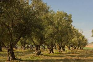 """L'olio italiano è già stato messo a dura prova nel difficile 2017 e ora il Consorzio Nazionale degli Olivicoltori lancia un altro allarme: """"dalla Tunisia arrivano tonnellate di olio d'oliva sul mercato, proprio nel bel mezzo di raccolta e produzione"""""""