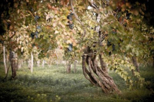 Focus on old vineyards, by Federation of Independent Winegrowers and Women of Wine