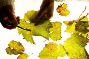 """Ancora un'importante scoperta scientifica della Fondazione Edmund Mach: alcune piante di vite resistenti alla peronospora diffondono nell'aria una sorta di """"sistema immunitario diffuso"""" che protegge le consimili tramite i composti volatili"""