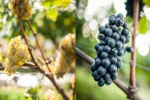 """Antichi, ci sono due vitigni internazionali che in Alto Adige hanno trovato il loro habitat ideale: a celebrarli, """"Spatium Pinot Blanc"""" e """"Le Giornate del Pinot Nero"""" (Appiano & Egna, 3-7 maggio)"""