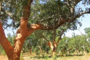 Asset economico ma non solo, la quercia da sughero vive la sua rivincita in Portogallo. Grazie alla crescita dei tappi, ma anche alla necessità di rimboscare le aree del Paese colpite dagli incendi del 2017 con una pianta particolarmente resistente