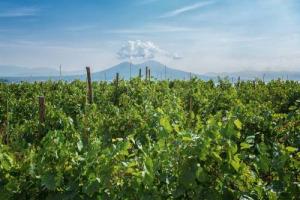 Forse non tutti sanno che … Napoli è la seconda città più vitata d'Europa e custodisce viti a piede franco. Il Festival delle Vigne Metropolitane, nato per valorizzare il vigneto cittadino, chiude il 27 gennaio alla Real Vigna di Capodimonte