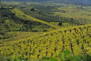 """A Creta tornano i vitigni locali, dal Vilana al Dafni, dal Kotzifali al Mantilari, a sostituzione degli internazionali. Tra clima """"incandescente"""" e abbinamenti """"giusti"""", si conferma il ritrovato valore dei vitigni di antica coltivazione mediterranei"""