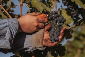 """Dietro al successo del vino australiano c'è la regia di Wine Australia, autorità governativa nata nel 2013 per sostenere l'export, e che oggi ha il """"potere"""" di vigilare su frodi e falsi e ritirare la licenza agli esportatori disonesti"""