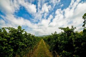 Focus Oiv: la varietà di uva da vino più coltivata al mondo è il Cabernet Sauvignon (341.000 ettari), presente oggi in ogni angolo del mondo, dalla Cina al Cile, seguito da Merlot e Tempranillo. Sono 110.000 gli ettari coperti dal Trebbiano Toscano