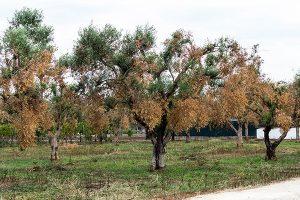 Clima e non solo, per l'olio d'oliva italiano il 2018 sarà un anno negativo