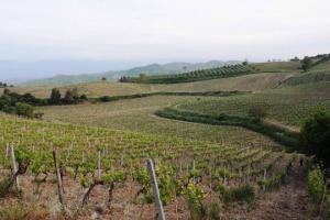 In Calabria, dove la vite arrivò per prima, con i Greci, la viticoltura ha ancora tanta strada da fare, specie a livello commerciale, partendo da due certezze, il suo vitigno più celebre, il Gaglioppo, ed il suo vino più conosciuto, il Cirò