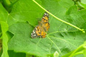 "A Ca' Marcanda, griffe di Bolgheri di Angelo Gaja, è il ""Butterfly Day"""