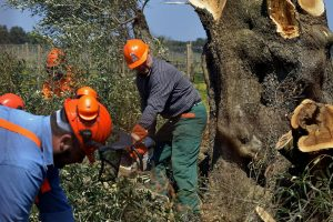 Coldiretti: la Xylella ha colpito 10 milioni di olivi in Puglia, danni da un miliardo di euro