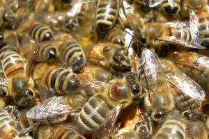 """L'ape da miele, fondamentale per l'agricoltura e vita dell'uomo, ha la sua """"Carta"""""""