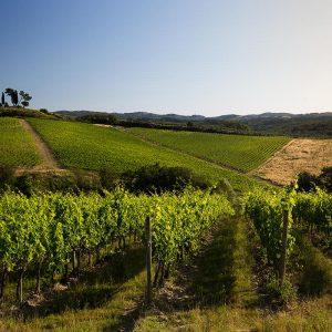 Come alcune griffe di Champagne, nel Chianti, Piccini punta sui conferitori: oggi 40, domani 100