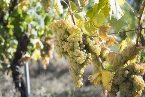 Verdicchio: identikit di un grande vitigno