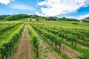 Truffa del Verdicchio, 150.000 litri di vino bianco comune spacciati come Doc