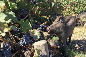 Cinghiali: dalla Lombardia via libera agli abbattimenti da parte degli agricoltori