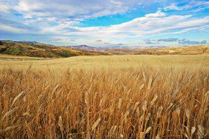 """""""Grazie"""" al glifosato, crollano le importazioni di grano canadese: è boom di grano made in Italy"""