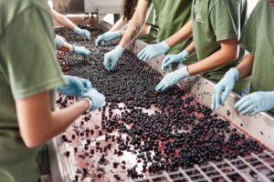 Assoenologi: rivedere norma che fissa vendemmia e vinificazione dal 1 agosto al 31 dicembre
