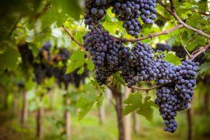 """Il Consorzio Vini d'Abruzzo: il marchio collettivo """"Montepulciano d'Abruzzo"""" sarà registrato"""