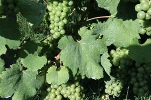 Dal Presidente della Repubblica Mattarella, all'uva Mattarella: la storia curiosa del vitigno veneto