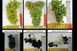 Dalla vite selvatica la risposta ai cambiamenti climatici che minacciano la viticoltura