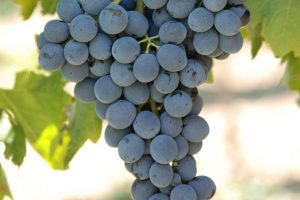 Stop al Nero d'Avola made in Australia venduto nell'Unione Europea: intervento dell'Icqrf