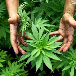 Constellation Brands investirà 4 miliardi di dollari nella Canopy Growth, regina della cannabis