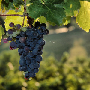Italy: the bulk wine market is on standby (waiting for rebates)