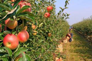 """Al via la """"vendemmia"""" delle mele: le stime registrano un recupero sul 2017"""