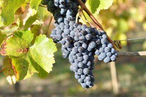 Si chiama Vitis vinifera Mgaloblishvili, arriva dalla Georgia, e resiste alla peronospora