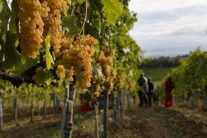 Grape harvest predictions are criticized, but reliable