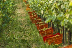 Vendemmia al via in Franciacorta con la raccolta di Chardonnay, Pinot Nero, Pinot Bianco