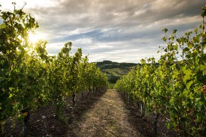 Verdicchio: 50 years, exports + 50% in 10 years