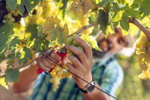 """Complessa, ma positiva: la vendemmia 2018 """"bio"""" in Italia dal Merano Wine Festival"""