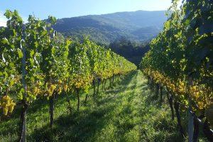 Oiv, il mondo vitivinicolo in numeri: superfici vitate, produzione, consumi e mercato