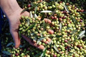 """""""Italia Olivicola"""" created to bring together 250.000 producers, half of the Italian olive growers"""