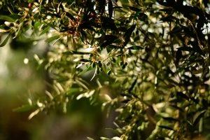"""Nasce """"Italia Olivicola"""", che mette insieme 250.000 produttori, la metà degli olivicoltori italiani"""