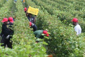 Lavoratori stranieri nell'agricoltura italiana, un legame storico, e mai così forte come oggi