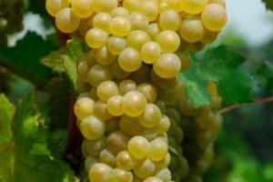 I vitigni resistenti si fanno largo, dai Vivai Rauscedo ai filari di Feudi di Romans