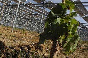In Francia, nel Roussillon, il primo vigneto fotovoltatico, nei terreni di Domaine de Nidolères